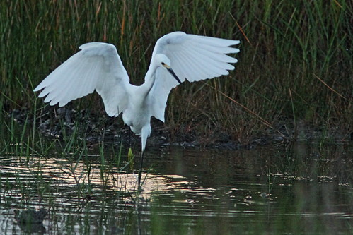 Snowy Egret dance 07-20150817