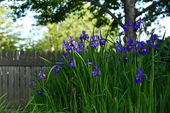 Iris at Home 01