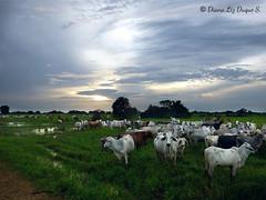 Llanos de Venezuela, Barinas