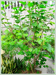 Morus nigra (Black Mulberry, Blackberry, Black-fruited Mulberry, Indian/Persian Mulberry, Silkworm Mulberry, Hei Sang in Chinese) shrub after pruning, Sept 10 2015