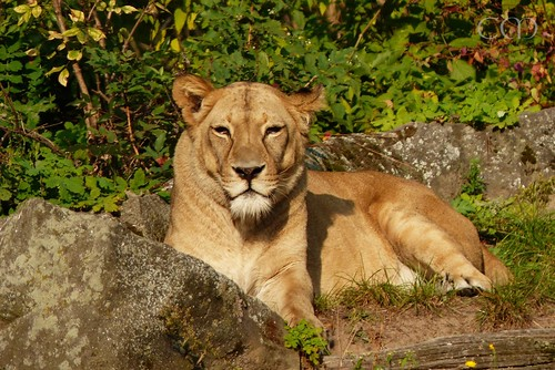 ...alone on the lion enclosure...