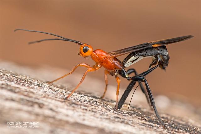 Braconid wasp (Braconidae) - DSC_5318