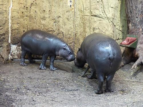 Zwergflusspferd Zoo Duisburg