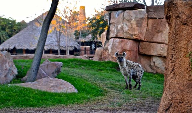 hyenas - Bioparc Valencia spain