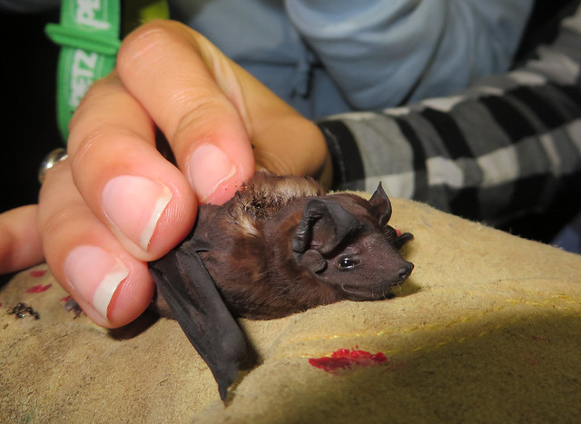 Velvety free-tailed bat (Molossus molossus), Archbold Research Centre