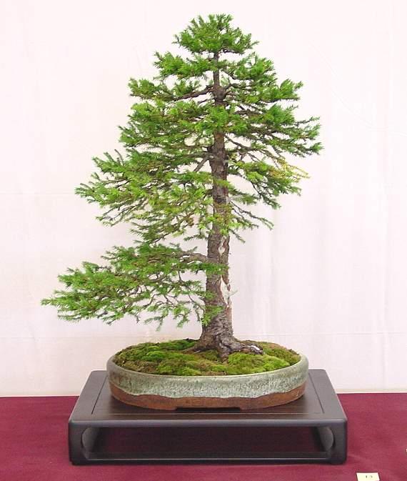 Foto4_Yamadori-bonsai_Picea_Chokkan