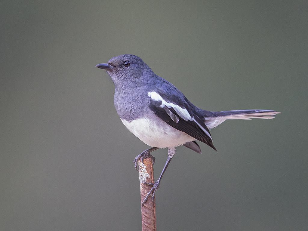 Oriental Magpie-Robin  Sri Lanka