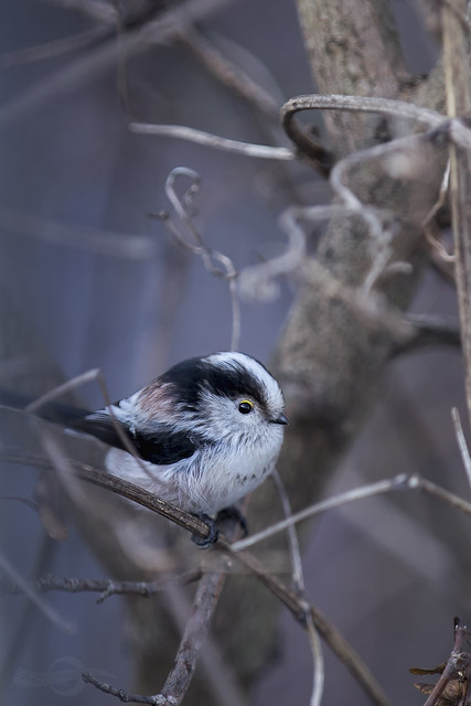 Schwanzmeise | Long-tailed tit | Germany