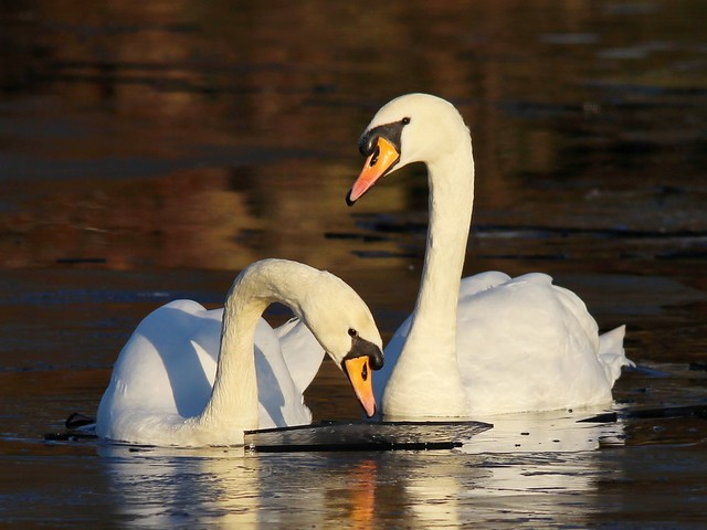 Ice-breaking Swans 02