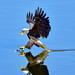 Bald Eagle by jt893x