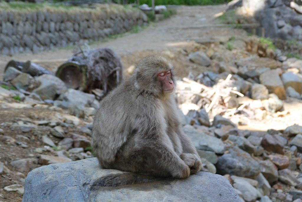 Jigokudani Monkey Park (3)