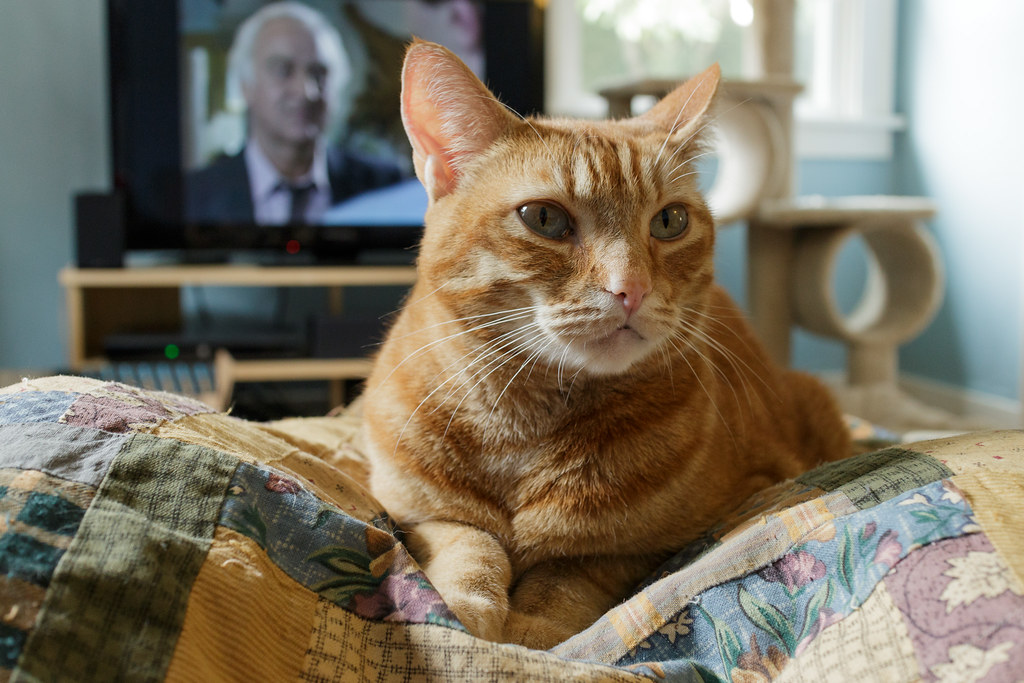 DCI Morse (on the TV) watches our cat Sam