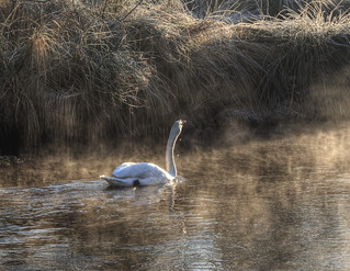 swan in the mist, Ovington, Hampshire