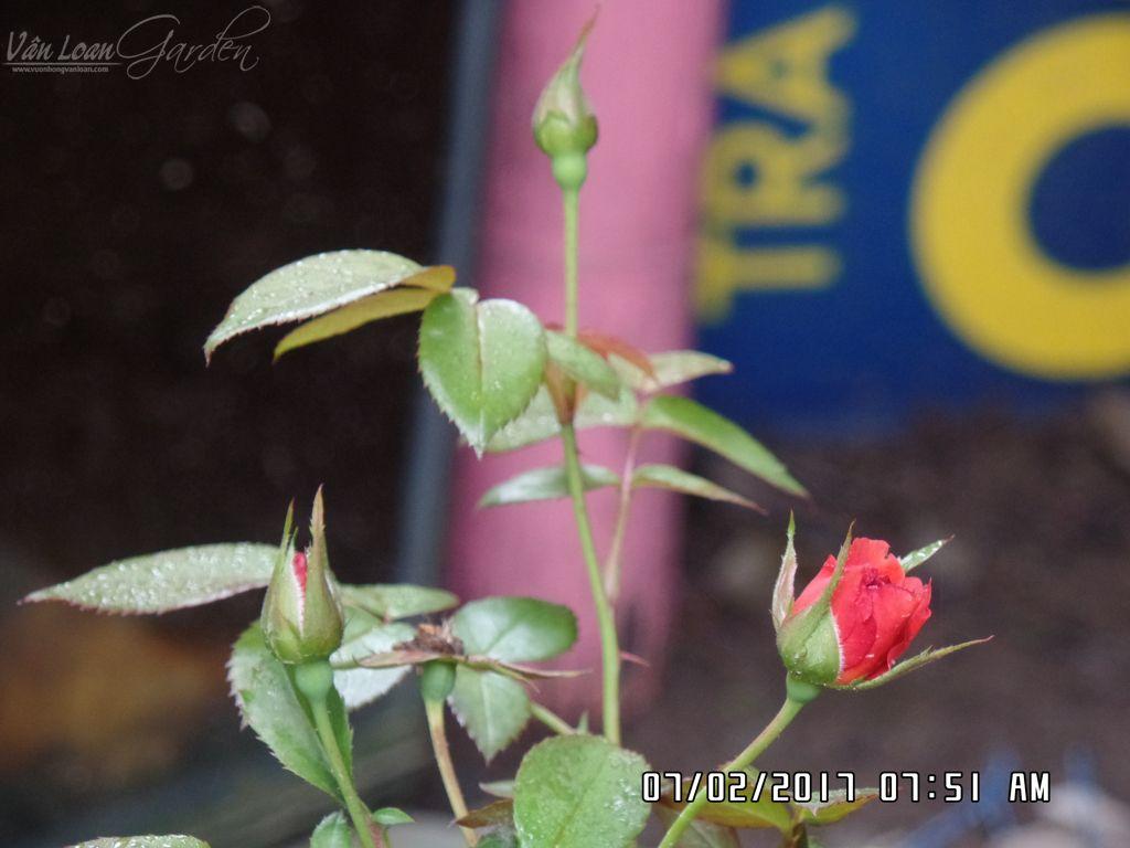 Cây đang có 3 nụ hoa nhỏ