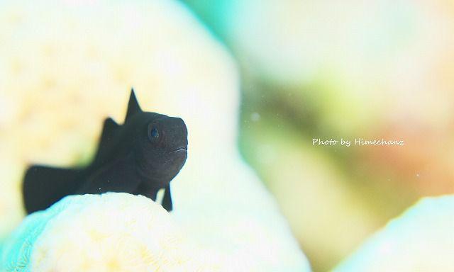 サンゴの上にはイチモンジコバンハゼ。黒い子は白いところにいられると写真が難しい・・。