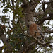 Red-Shouldered Hawk in a Tree at the Laguna de Santa Rosa by Rachel Ford James