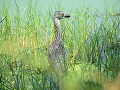 Yellow-Crowned Night-Heron (juv) 8-29-15, Mitchell Lake Audubon Center, San Antonio Texas