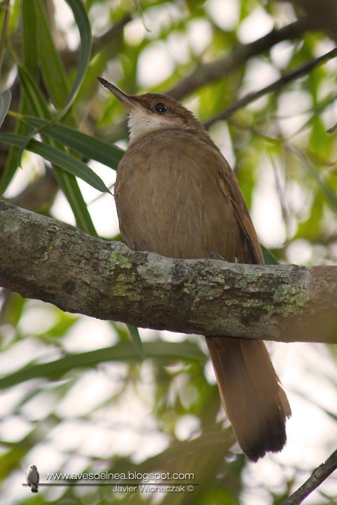 Bandurrita chaqueña (Chaco Earthcreeper) Tarphonomus certhioides
