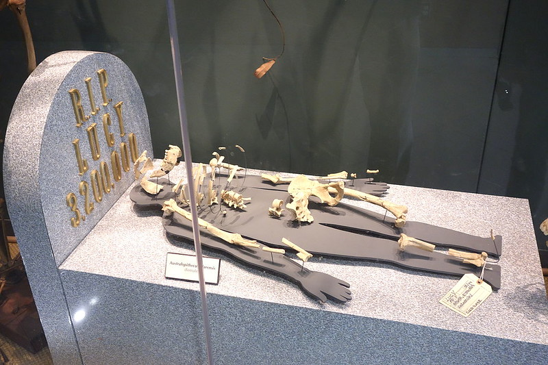 Lucy Skeleton displayed in the University of California Museum of Paleontology, Berkeley