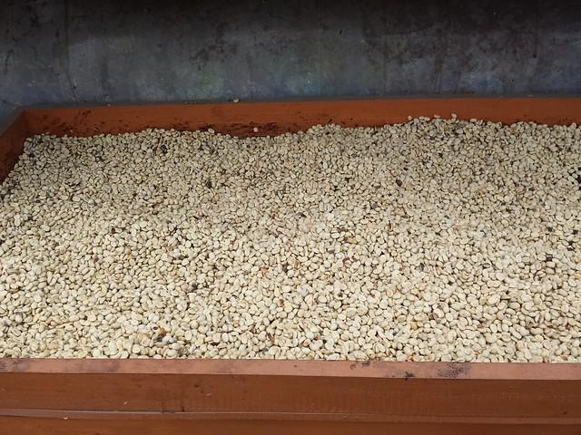 Les grains de café encore recouverts de leur pellicule jaune...