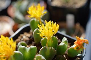DSC_1246 Conophytum cvs. 小菊の舞 コノフィツム