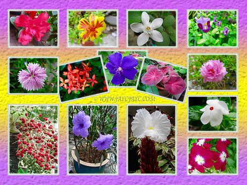 Collage of flowering plants at our frontyard, Dec 13 2015