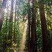 Redwoods by christopher.berry