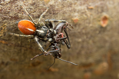 Araña saltarina rojinegra - Phiale roburifoliata - Black red jumping spider