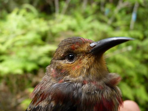 A Juvenile ʻApapane (Himatione sanguinea)
