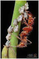 Treehoppers and Ant / Bichos Espina y Hormiga