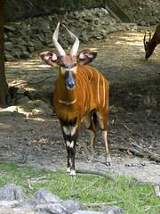 Memphis Zoo 08-31-2016 - Bongo 9