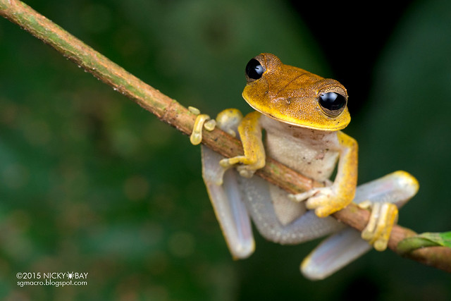 Tree frog (Rhacophorida) - DSC_3713