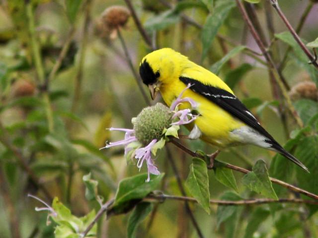 American Goldfinch 4-20150826