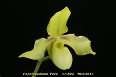 Paphiopedilum In-Charm Harmony (primulinum x hangianum) par Michel B
