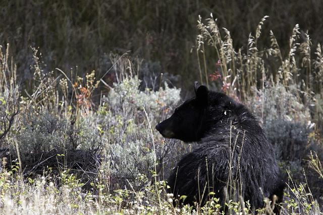 2015 9 30 - Black Bear with Cub - 9S3A7898