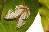 Common Map Butterfly (Cyrestis thyodamas, Nymphalidae) by John Horstman (itchydogimages, SINOBUG)