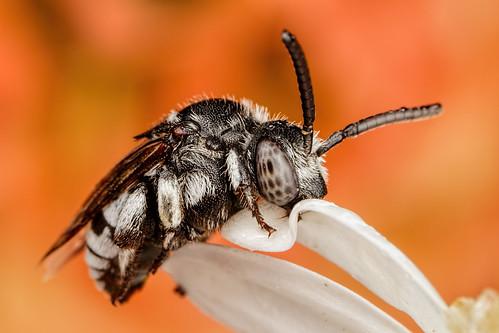 Sleeping Cuckoo Bee