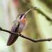 Band-tailed Barbthroat by sbuckinghamnj
