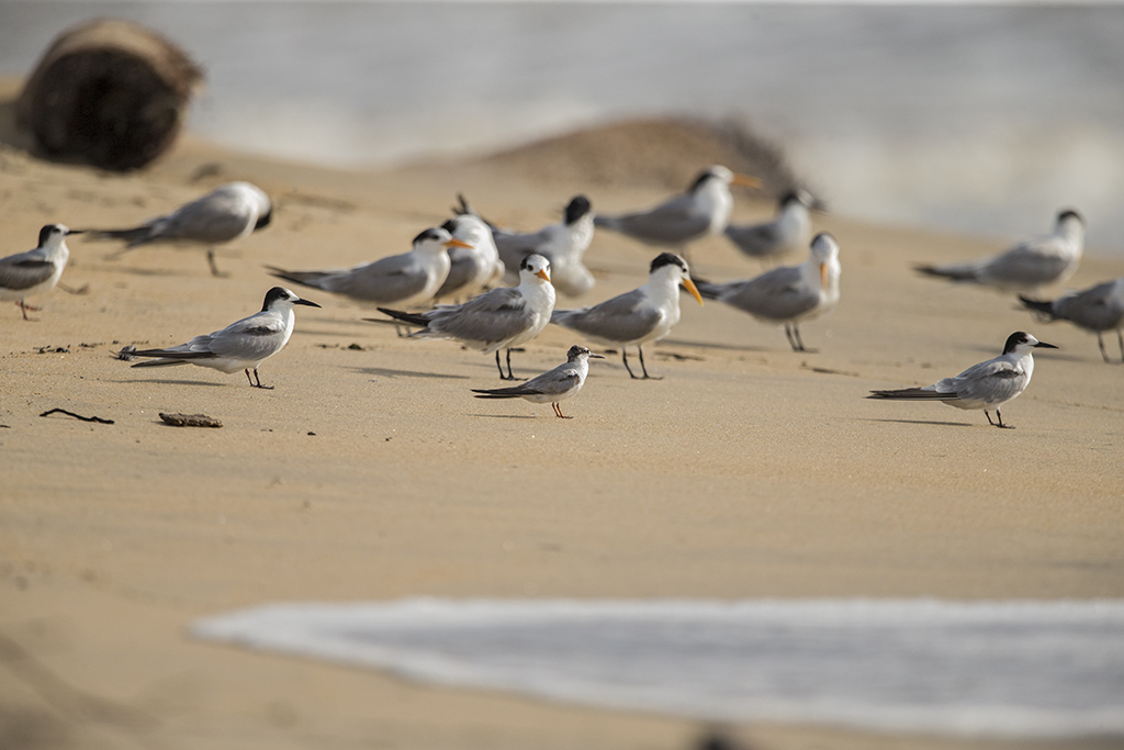 Mixed Tern flock   Sri Lanka
