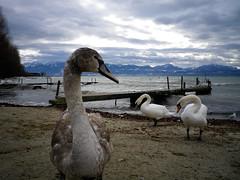 Swan on fleek