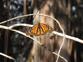 Monarch Butterflies Overwintering along Central California Coast