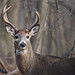 Wisconsin Buck by Scott Weberpal