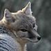 Swift Fox by K.Verhulst