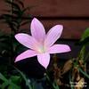 rain lily: z.zeyheri