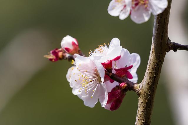 咲き残った綺麗な梅@瑞泉寺