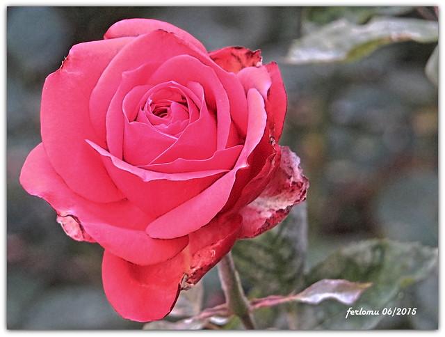 Cantabria -Santo Toribio de Liébana -rosa4
