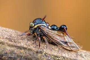 Treehopper (Heteronotus sp.) - DSC_2025