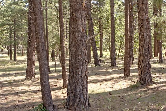 Pine Trees 20d_2567