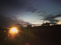 The light at the end of the #saarloosharvest tunnel.  Today we pick the last of our grapes die ourselves. Mourvèdre.  Yet we still have 2 more picks after this one. They are pick and deliver only. This one is for the family.  Almost home.