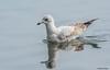 Herring Gull by Summerside90